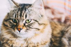 Cat. Young brown striped cat with green eyes is lying and posing to camera. Sleepy brown and cute cat with magical eyes royalty free stock image
