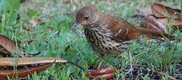 Young Brown Thrasher-crumbs. Young Brown Thrasher on the grass w/crumbs in beak Royalty Free Stock Image