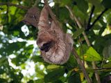 Young brown-throated sloth in tree Royalty Free Stock Photography
