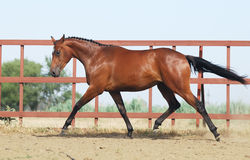 Young brown trakehner horse Royalty Free Stock Image