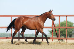 Young brown trakehner horse Royalty Free Stock Photography