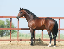 Young brown trakehner horse Stock Image