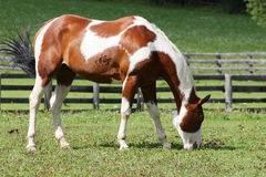 Young brown white horse grazing in a meadow Royalty Free Stock Images