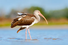 Young brown White Ibis, Eudocimus albus, white bird with red bill in the water. Ibis feeding food in the lake, Florida, USA. Beaut. Young brown White Ibis Royalty Free Stock Photography