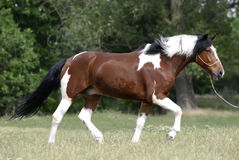 Young brown and white pony Royalty Free Stock Image