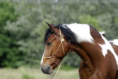 Young brown and white pony Royalty Free Stock Images