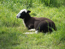 Young brown and white sheep lying in the grass Stock Photography