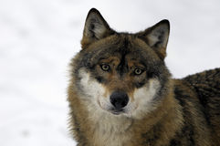 Young brown and white wolf. Face in the Bavarian forest in winter Stock Photos