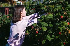 Young brunette woman tearing raspberries from the bushes in the country. Blur. royalty free stock photography