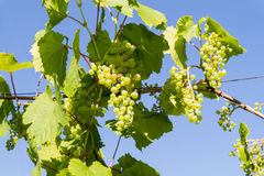 Young brush grapes Royalty Free Stock Photography