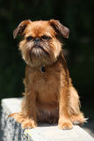 Young Brussels Griffon in front of dark background Royalty Free Stock Images