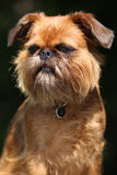Young Brussels Griffon in front of dark background