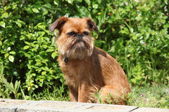 Young Brussels Griffon Stock Photo