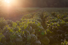 Young Brussels sprout plants Stock Photos