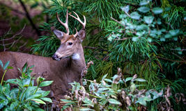 Young Buck Royalty Free Stock Photo