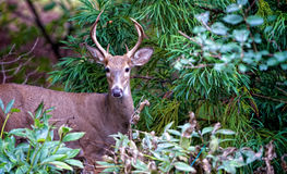 Young Buck Stock Photography
