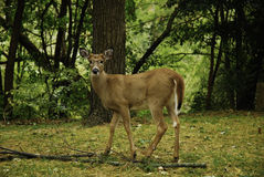 Young buck Royalty Free Stock Images