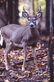 Young buck. This young whitetail buck stands alert and uneasy stock photo