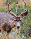Young Buck. Young male mule deer in the Roosevelt National Forest of Colorado stock images