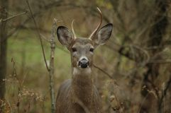 Young Buck Royalty Free Stock Photography