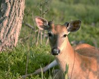 Young Buck. Whitetail deer buck bedded next to a tree stock photos