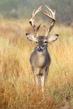 Young buck but big antlers Royalty Free Stock Image