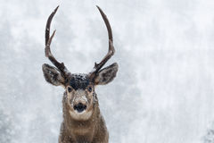 Buck Deer with antlers in Snow. Young buck deer with antlers in heavy colorado snow stock image