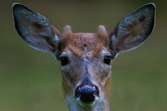 Young buck Royalty Free Stock Photos