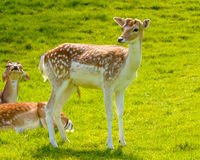 Young Buck Deer Stock Image