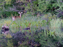 Young buck deer by shore of calm Adirondacks lake Stock Photos