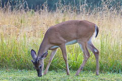 young white tail buck deer with velvet antlers Royalty Free Stock Image