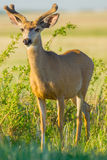 Young Buck Deer In Velvet Royalty Free Stock Images