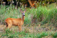 Young buck deer in the wild Royalty Free Stock Image
