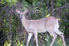 Male whitetail deer with new antlers growing. A young buck at the edge of a forest.  It is just starting to grow its new antlers for the coming fall mating Stock Image