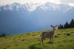 Young Buck and Mt. Olympus Peaks. A young buck stands in the meadow before Mount Olympus and neighboring peaks at Hurricane Ridge in the Olympic National Park Royalty Free Stock Photos