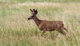 Young Buck Mule Deer Royalty Free Stock Photo