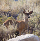 Young Buck Mule Deer Stock Photos