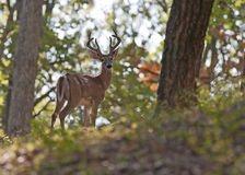 Young Buck Stock Images