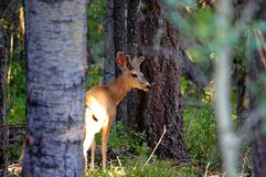 Young buck mule deer standing in forest with antlers in full summer velvet. Large New Mexico buck mule deer standing in forst with antlers in full summer velvet stock photo