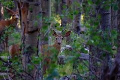Young buck mule deer standing in forest with antlers in full summer velvet royalty free stock image