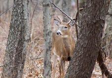 Young Buck Peering Through Brush Stock Photo