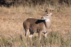Young buck in portrait view Stock Image