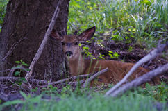 Young Buck Resting in the Shade of a Tree. Young Buck Resting in the Cool Shade of a Tree royalty free stock images