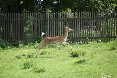 Young buck running on pasturage Royalty Free Stock Photography