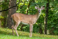 Deer posing for the camera in the forest stock photo