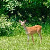 Young Buck. Summer 2015, Rack starting to form Royalty Free Stock Image