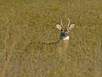 Young Buck in Tall Grass Stock Photo