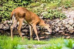 Young Buck Whitetail Deer. At creek walking to the right Royalty Free Stock Images