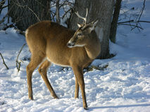 Young Buck In Winter. A young Whitetail Buck in winter snow at woods edge Stock Images