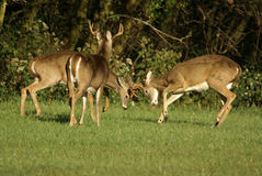 Young bucks in rut. Two young bucks battling while their mentor looks on Royalty Free Stock Images